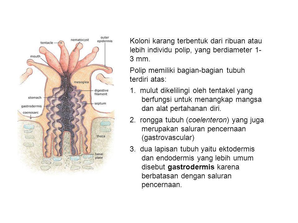 Koloni karang terbentuk dari ribuan atau lebih individu polip, yang berdiameter 1- 3 mm. Polip memiliki bagian-bagian tubuh terdiri atas: 1. mulut dik