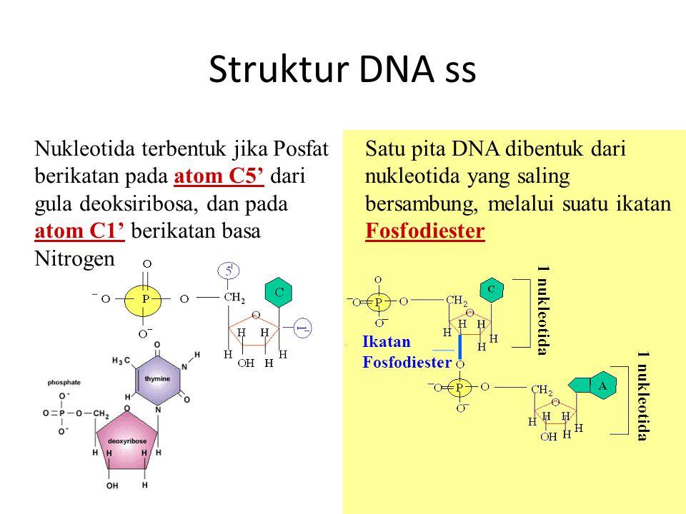 Struktur DNA ss 11 Nukleotida terbentuk jika Posfat berikatan pada atom C5' dari gula deoksiribosa, dan pada atom C1' berikatan basa Nitrogen Satu pit