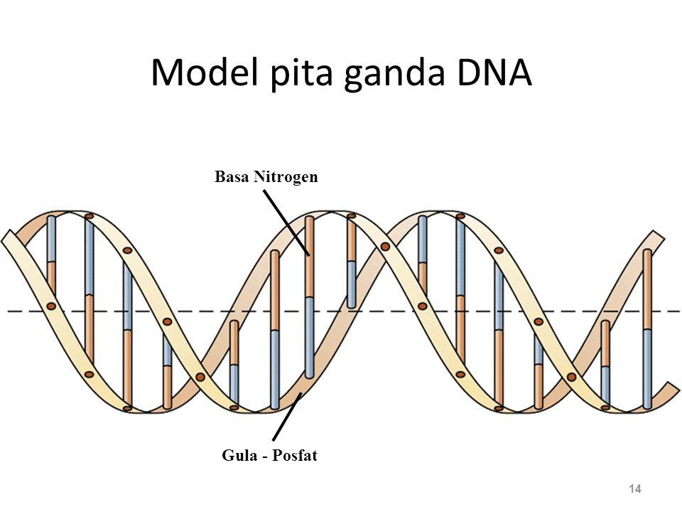 Model pita ganda DNA 14 Gula - Posfat Basa Nitrogen