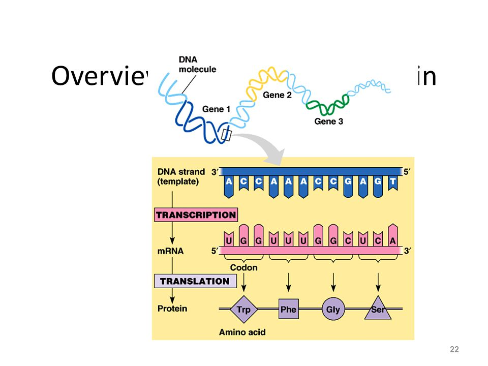Overview: From gene to protein 22