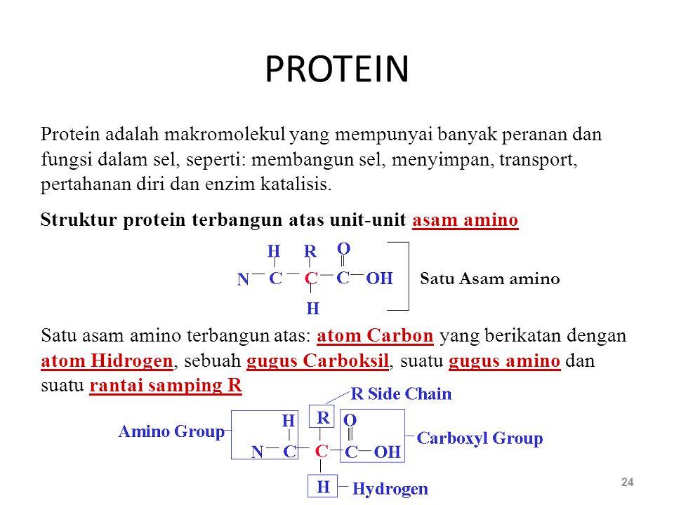PROTEIN 24 Satu Asam amino Protein adalah makromolekul yang mempunyai banyak peranan dan fungsi dalam sel, seperti: membangun sel, menyimpan, transpor