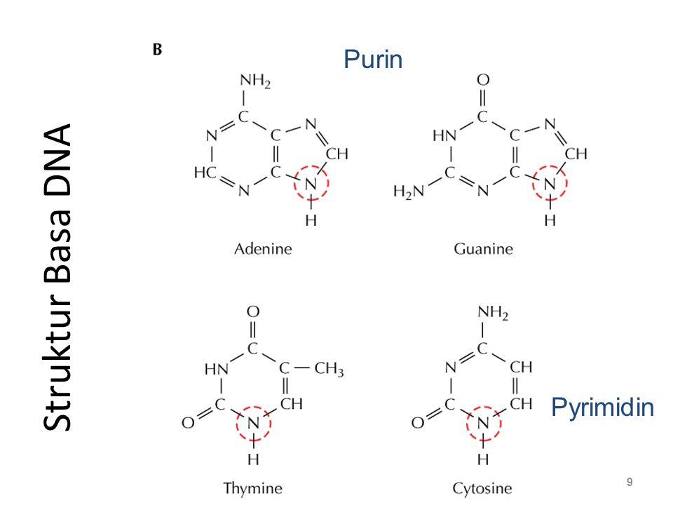 Struktur Basa DNA 9 Nucleoside Purin Pyrimidin