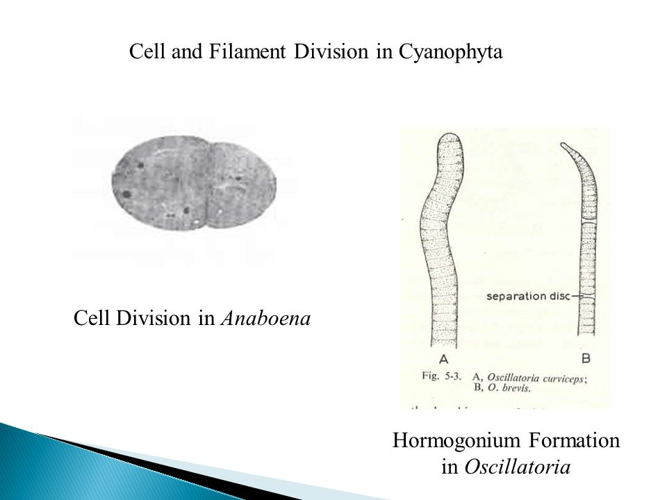 Cell and Filament Division in Cyanophyta Cell Division in Anaboena Hormogonium Formation in Oscillatoria