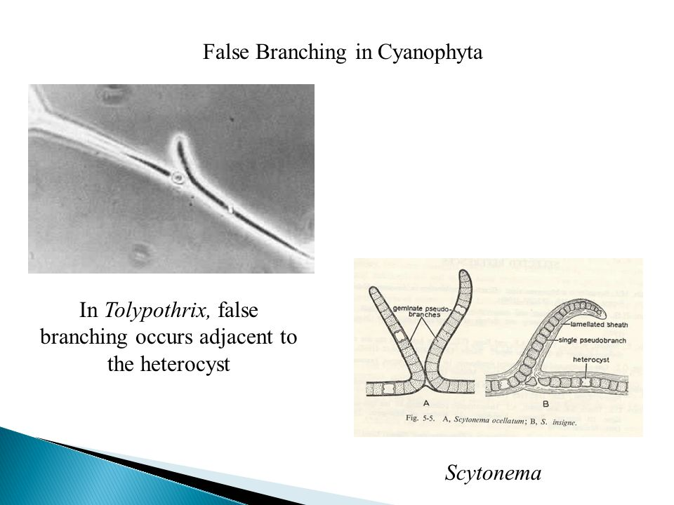 False Branching in Cyanophyta In Tolypothrix, false branching occurs adjacent to the heterocyst Scytonema