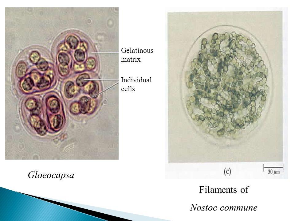Gelatinous matrix Individual cells Gloeocapsa Filaments of Nostoc commune
