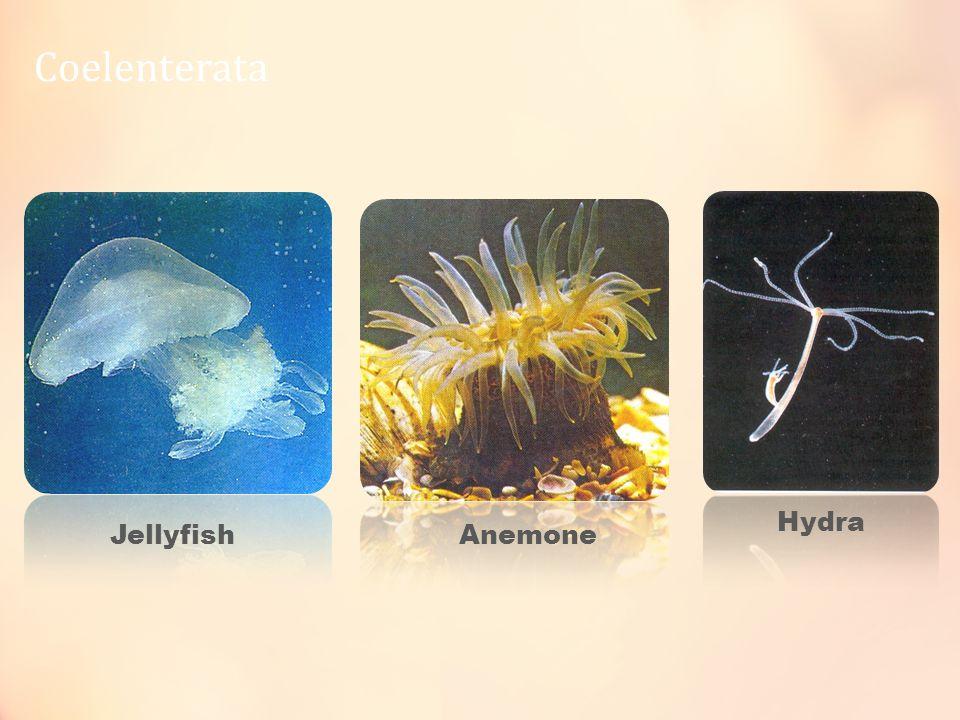 Coelenterata Jellyfish Hydra Anemone
