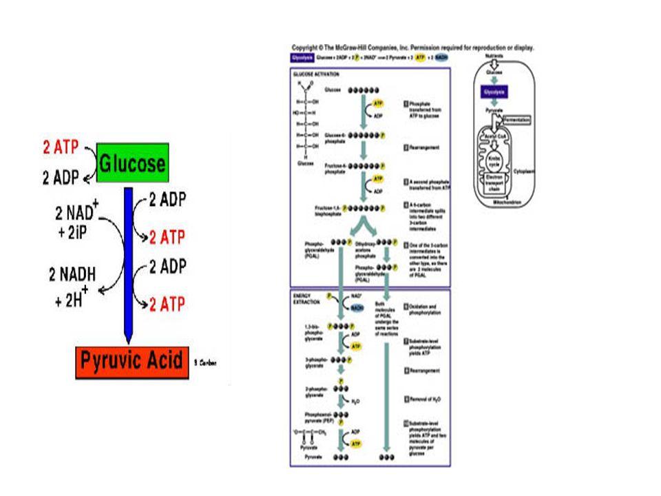 Glikolisis Glukosa + Lisis = Reaksi Pemecahan glukosa Berlangsung di sitoplasma (sitosol) Tidak membutuhkan oksigen (anaerob), tanpa oksigen Fermentasi Produk glikolisis setiap molekul glukosa: - 2 molekul asam piruvat SAT - 2 ATP - 2 NADH ETC