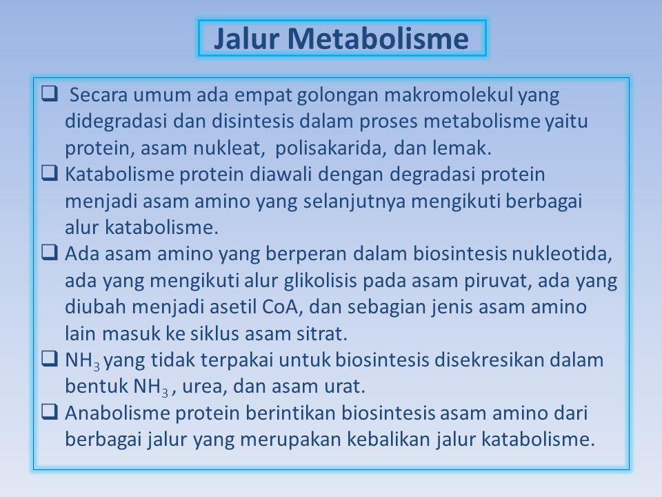 Jalur Metabolisme  Secara umum ada empat golongan makromolekul yang didegradasi dan disintesis dalam proses metabolisme yaitu protein, asam nukleat,