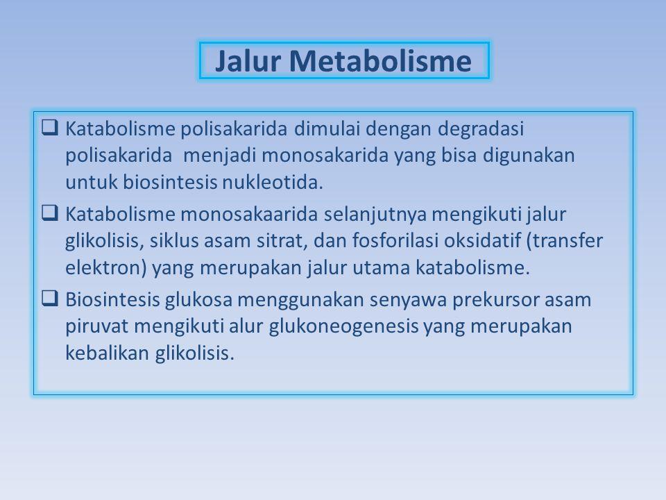 Jalur Metabolisme  Katabolisme polisakarida dimulai dengan degradasi polisakarida menjadi monosakarida yang bisa digunakan untuk biosintesis nukleoti
