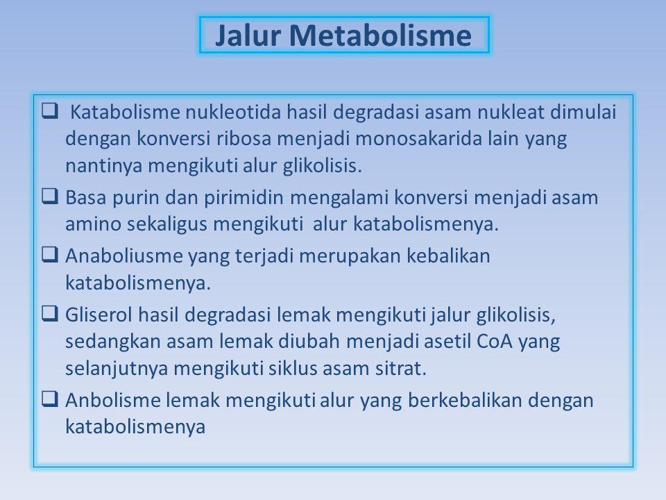 Jalur Metabolisme  Katabolisme nukleotida hasil degradasi asam nukleat dimulai dengan konversi ribosa menjadi monosakarida lain yang nantinya mengiku