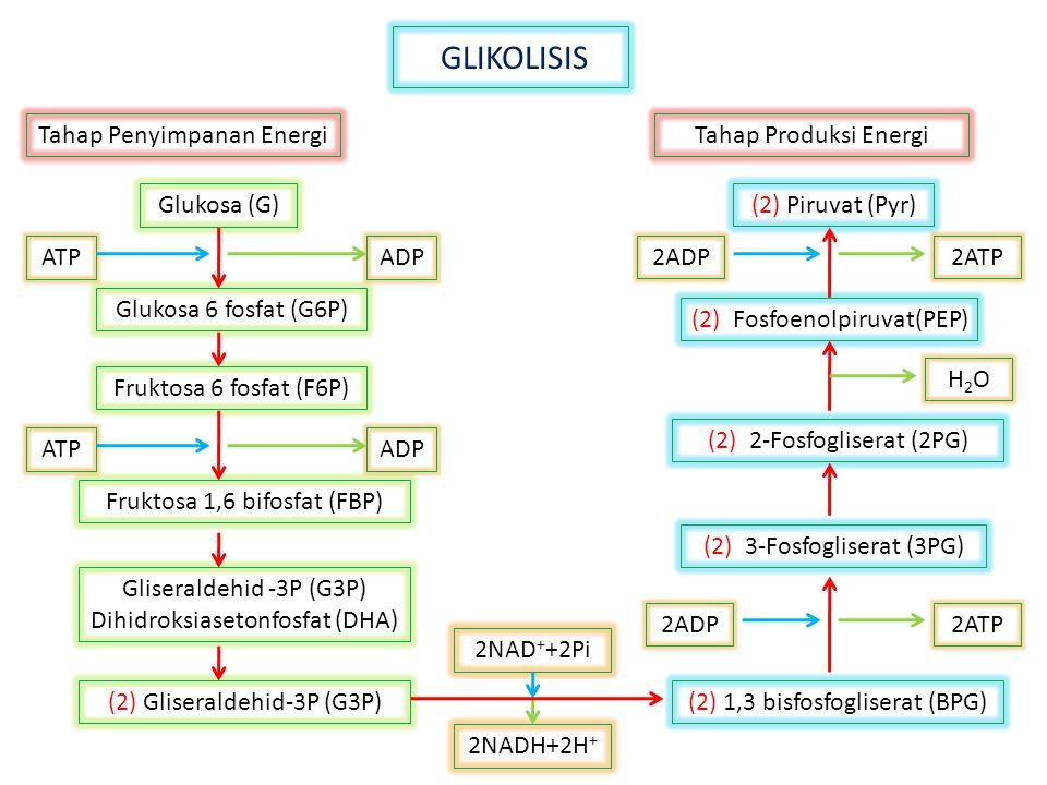 GLIKOLISIS Tahap Penyimpanan EnergiTahap Produksi Energi 2NADH+2H + Fruktosa 6 fosfat (F6P) Fruktosa 1,6 bifosfat (FBP) Gliseraldehid -3P (G3P) Dihidr