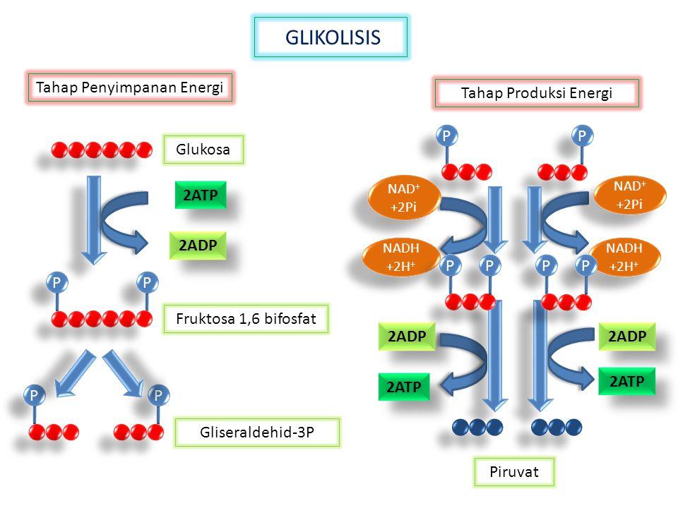 GLIKOLISIS 2ATP 2ADP P P P P P P P P Glukosa Fruktosa 1,6 bifosfat Gliseraldehid-3P Tahap Penyimpanan Energi Tahap Produksi Energi Piruvat P P P P NAD