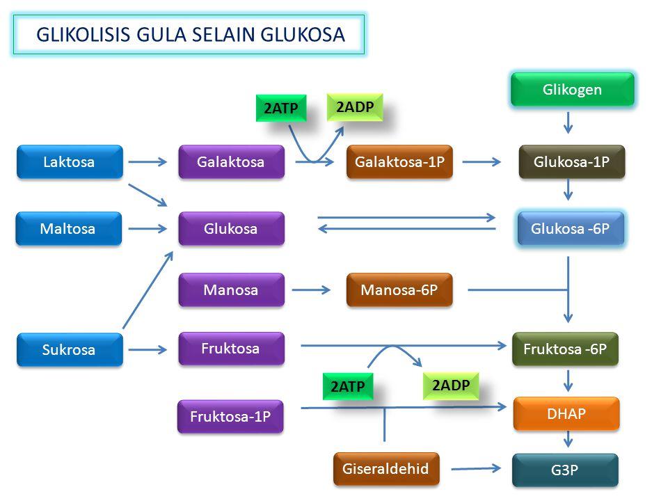 GLIKOLISIS GULA SELAIN GLUKOSA Glukosa -6P Glikogen Laktosa Maltosa Sukrosa Galaktosa Fruktosa Manosa Fruktosa-1P Glukosa Galaktosa-1P Glukosa-1P G3P