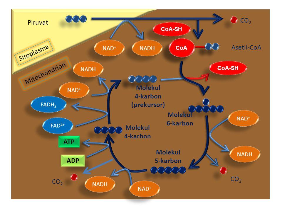 Sitoplasma Mitochondrion Piruvat NAD + NADH CoA CO 2 Asetil-CoA NAD + NADH CO 2 NAD + NADH CO 2 NAD + NADH ATP ADP Molekul 4-karbon (prekursor) CoA-SH