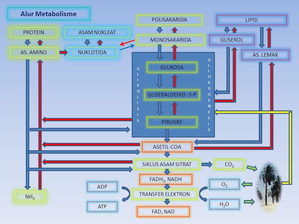 Alur Metabolisme PROTEINASAM NUKLEAT POLISAKARIDA LIPID AS. AMINONUKLOTIDA MONOSAKARIDA GLISEROL AS. LEMAK GLUKOSA GLISERALDEHID -3-P PIRUVAT ASETIL-C