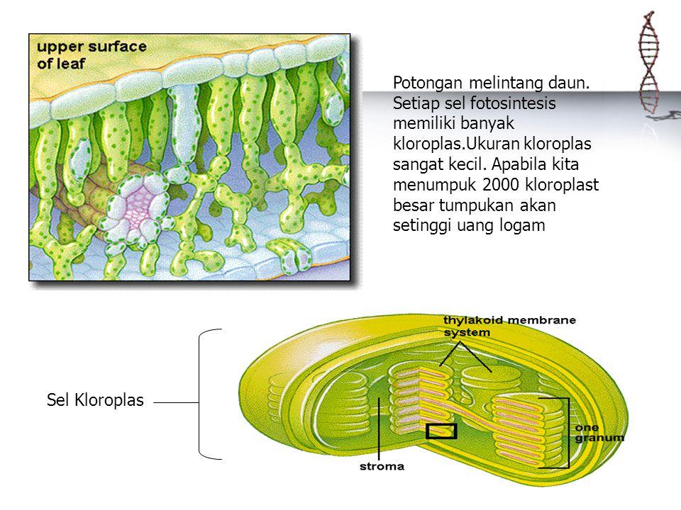 Potongan melintang daun. Setiap sel fotosintesis memiliki banyak kloroplas.Ukuran kloroplas sangat kecil. Apabila kita menumpuk 2000 kloroplast besar