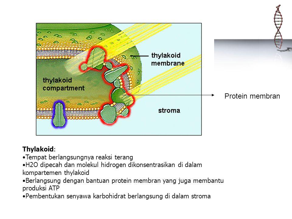 Thylakoid: Tempat berlangsungnya reaksi terang H2O dipecah dan molekul hidrogen dikonsentrasikan di dalam kompartemen thylakoid Berlangsung dengan ban
