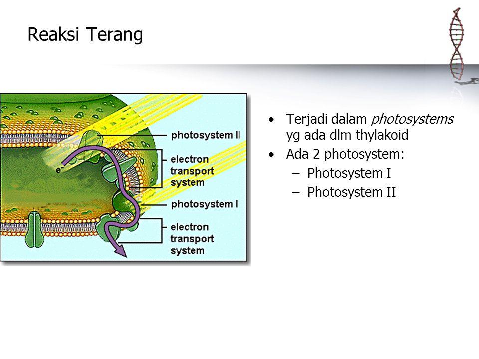 Reaksi Terang Terjadi dalam photosystems yg ada dlm thylakoid Ada 2 photosystem: –Photosystem I –Photosystem II