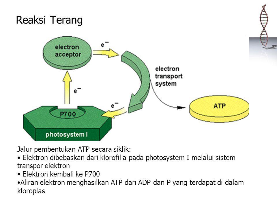 Reaksi Terang Jalur pembentukan ATP secara siklik: Elektron dibebaskan dari klorofil a pada photosystem I melalui sistem transpor elektron Elektron ke