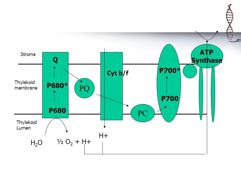 ATP Synthase Thylakoid membrane Stroma Thylakoid Lumen Q P680* P680 PQ H2OH2O ½ O 2 + H+ H+ PC P700 P700* Cyt b/f