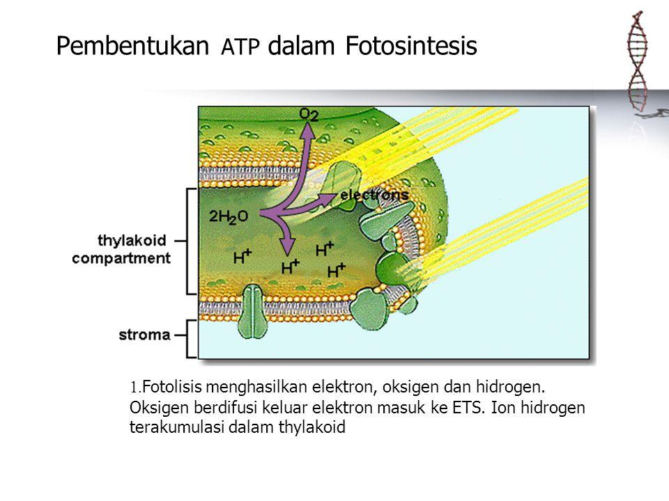 Pembentukan ATP dalam Fotosintesis 1. Fotolisis menghasilkan elektron, oksigen dan hidrogen. Oksigen berdifusi keluar elektron masuk ke ETS. Ion hidro