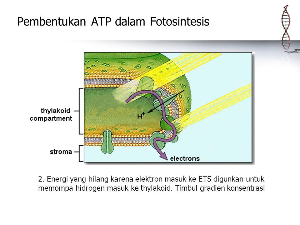 Pembentukan ATP dalam Fotosintesis 2. Energi yang hilang karena elektron masuk ke ETS digunkan untuk memompa hidrogen masuk ke thylakoid. Timbul gradi