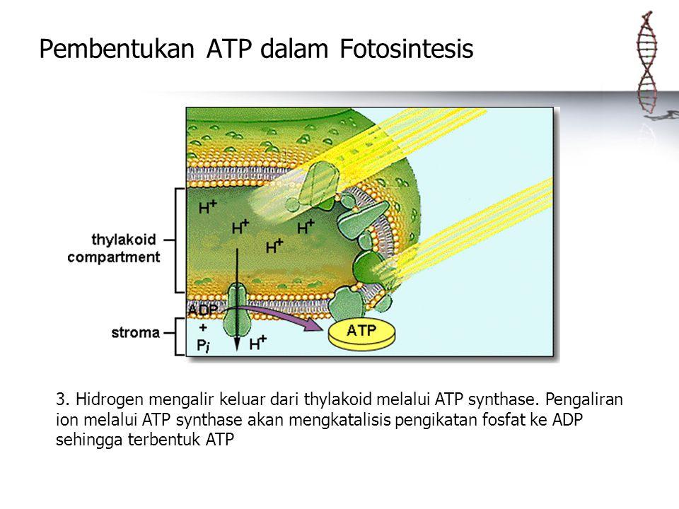 Pembentukan ATP dalam Fotosintesis 3. Hidrogen mengalir keluar dari thylakoid melalui ATP synthase. Pengaliran ion melalui ATP synthase akan mengkatal
