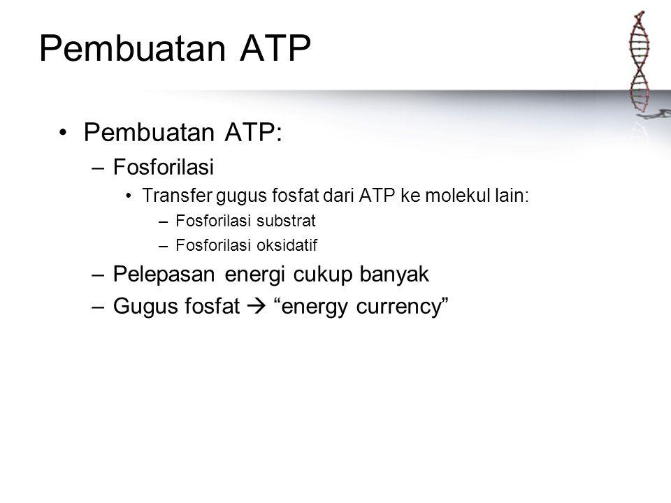 Pembuatan ATP Pembuatan ATP: –Fosforilasi Transfer gugus fosfat dari ATP ke molekul lain: –Fosforilasi substrat –Fosforilasi oksidatif –Pelepasan ener