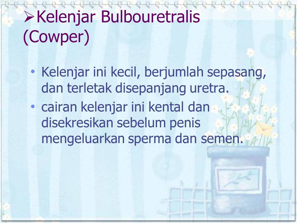  Kelenjar Bulbouretralis (Cowper) Kelenjar ini kecil, berjumlah sepasang, dan terletak disepanjang uretra. cairan kelenjar ini kental dan disekresika