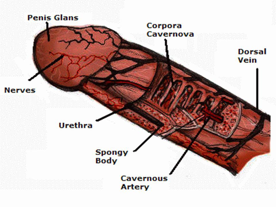 Anatomy of erection