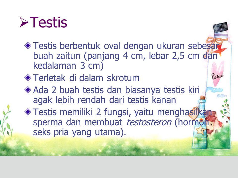  Testis Testis berbentuk oval dengan ukuran sebesar buah zaitun (panjang 4 cm, lebar 2,5 cm dan kedalaman 3 cm) Terletak di dalam skrotum Ada 2 buah