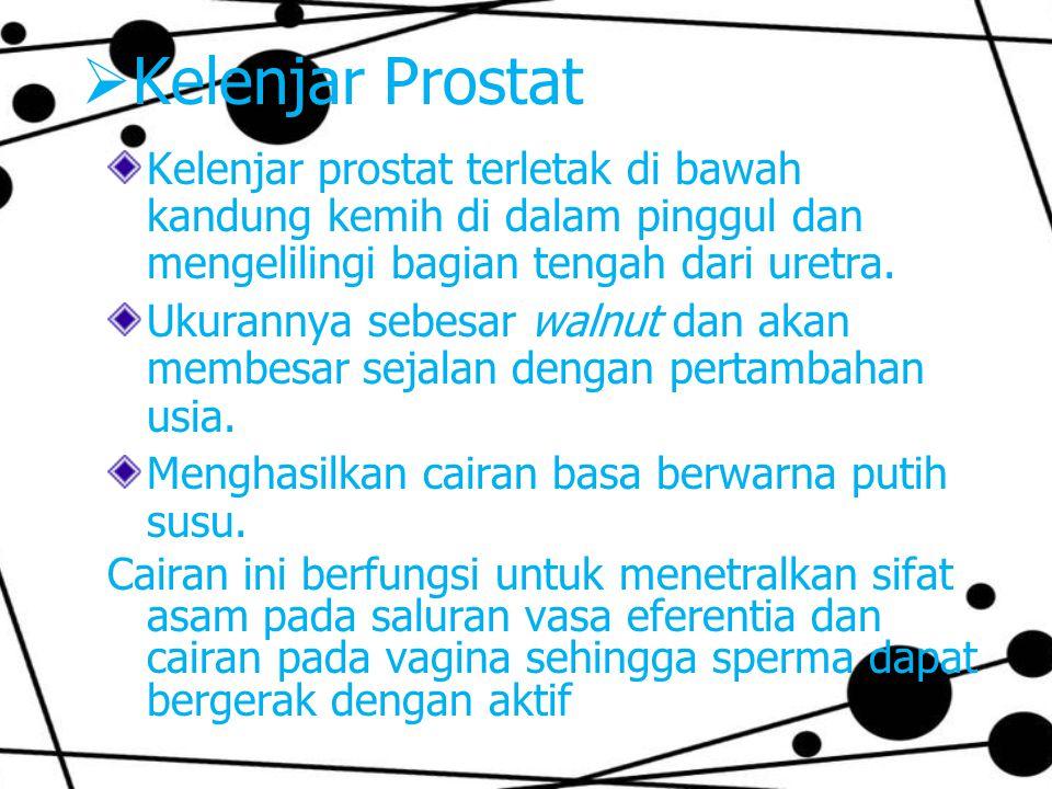  Kelenjar Prostat Kelenjar prostat terletak di bawah kandung kemih di dalam pinggul dan mengelilingi bagian tengah dari uretra. Ukurannya sebesar wal