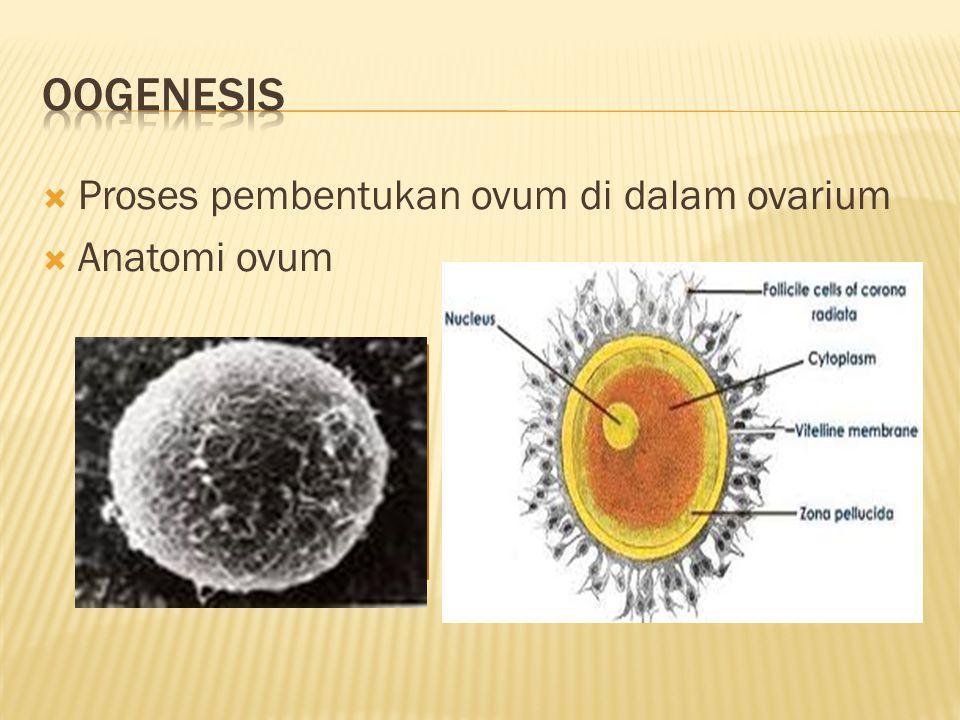  Proses pembentukan ovum di dalam ovarium  Anatomi ovum