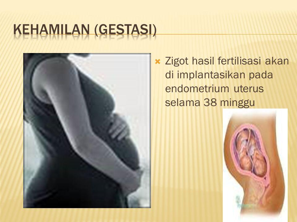  Zigot hasil fertilisasi akan di implantasikan pada endometrium uterus selama 38 minggu