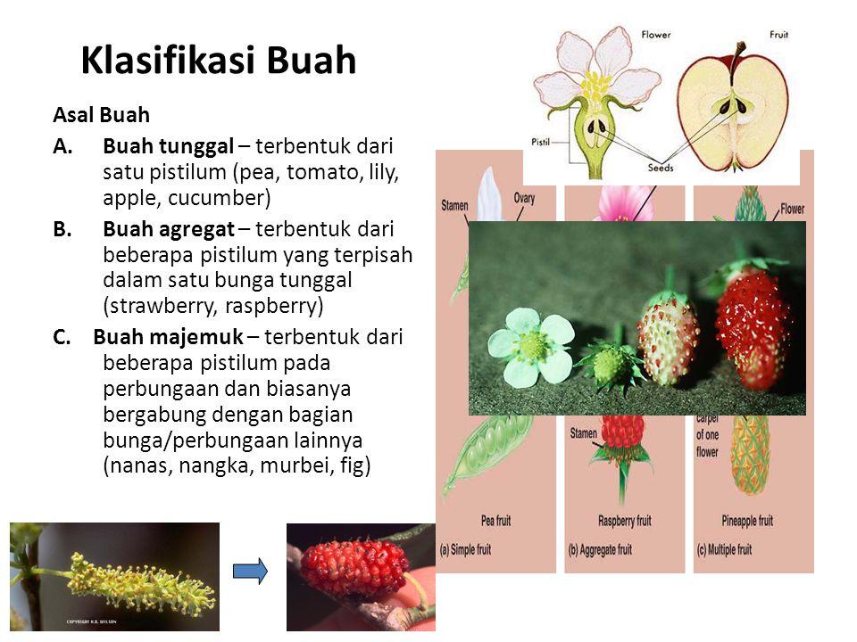Klasifikasi Buah Asal Buah A.Buah tunggal – terbentuk dari satu pistilum (pea, tomato, lily, apple, cucumber) B.Buah agregat – terbentuk dari beberapa pistilum yang terpisah dalam satu bunga tunggal (strawberry, raspberry) C.