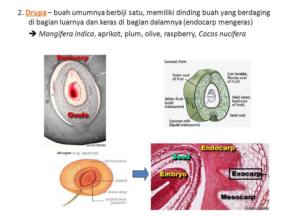 2. Drupa – buah umumnya berbiji satu, memiliki dinding buah yang berdaging di bagian luarnya dan keras di bagian dalamnya (endocarp mengeras)  Mangif