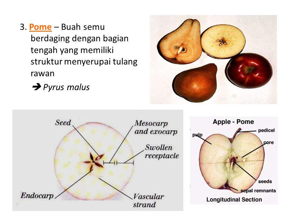 3. Pome – Buah semu berdaging dengan bagian tengah yang memiliki struktur menyerupai tulang rawan  Pyrus malus