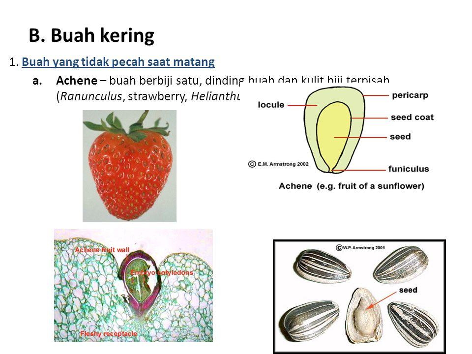 B. Buah kering 1. Buah yang tidak pecah saat matang a.Achene – buah berbiji satu, dinding buah dan kulit biji terpisah (Ranunculus, strawberry, Helian