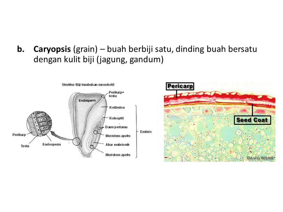 b.Caryopsis (grain) – buah berbiji satu, dinding buah bersatu dengan kulit biji (jagung, gandum)