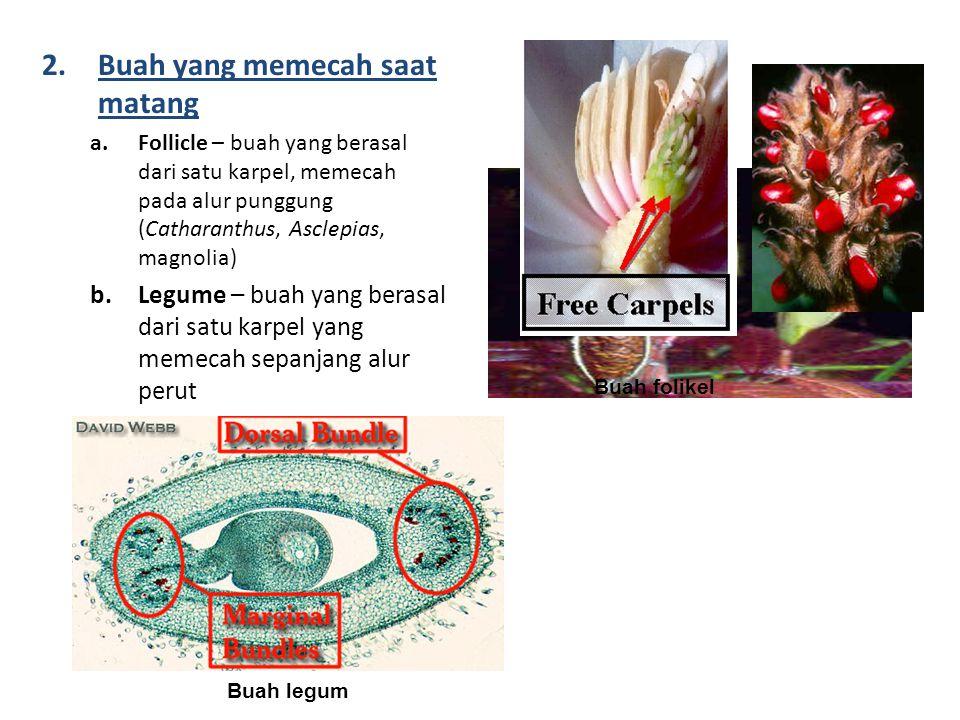 2.Buah yang memecah saat matang a.Follicle – buah yang berasal dari satu karpel, memecah pada alur punggung (Catharanthus, Asclepias, magnolia) b.Legume – buah yang berasal dari satu karpel yang memecah sepanjang alur perut Buah folikel Buah legum