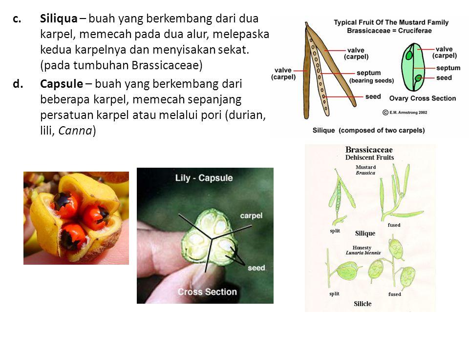 c.Siliqua – buah yang berkembang dari dua karpel, memecah pada dua alur, melepaskan kedua karpelnya dan menyisakan sekat.