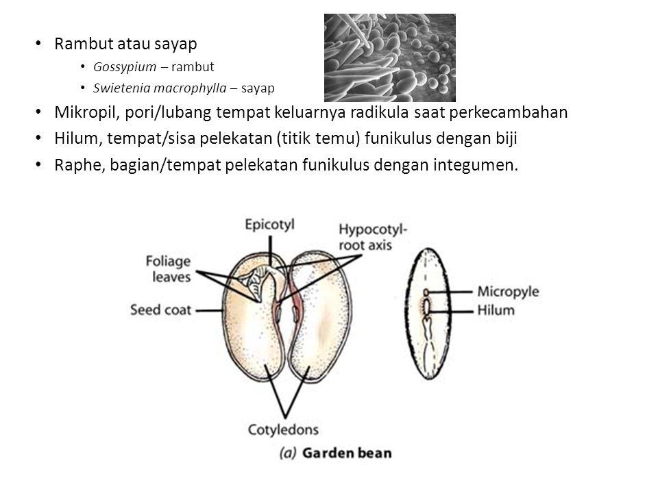 Rambut atau sayap Gossypium – rambut Swietenia macrophylla – sayap Mikropil, pori/lubang tempat keluarnya radikula saat perkecambahan Hilum, tempat/si