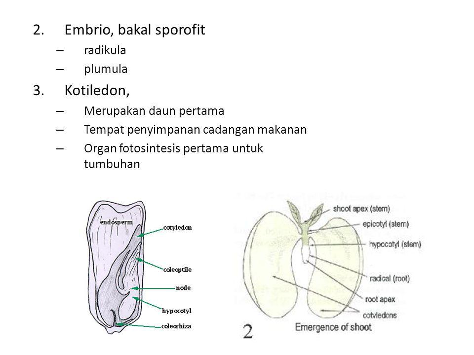 2.Embrio, bakal sporofit – radikula – plumula 3.Kotiledon, – Merupakan daun pertama – Tempat penyimpanan cadangan makanan – Organ fotosintesis pertama untuk tumbuhan