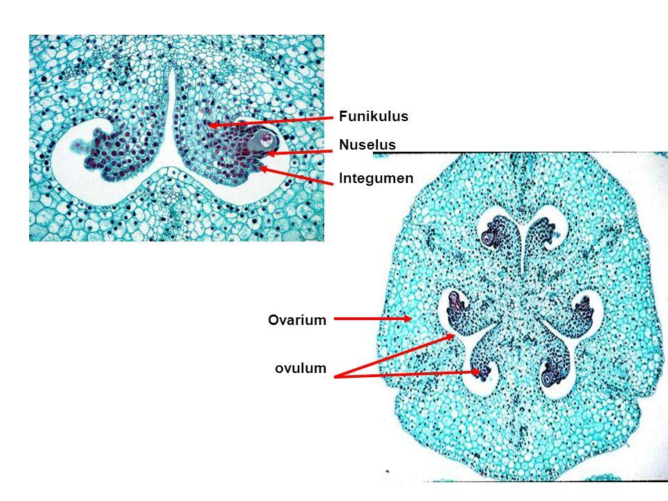 Ovarium ovulum Funikulus Nuselus Integumen