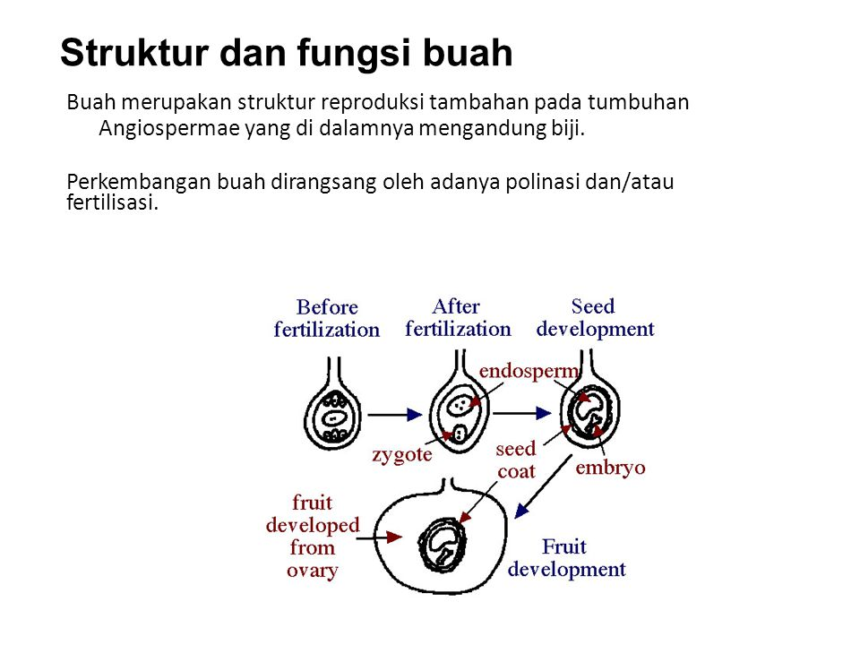 Buah merupakan struktur reproduksi tambahan pada tumbuhan Angiospermae yang di dalamnya mengandung biji. Perkembangan buah dirangsang oleh adanya poli