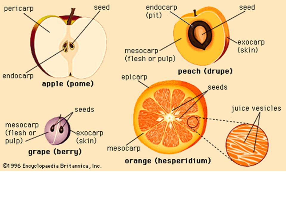 Dinding buah - Berasal dari dinding bakal buah (perikarp) - Perikarp dapat dibedakan dari jaringan tambahan atau bersatu dengan jaringan tersebut Perikarp Eksokarp / epikarp Mesokarp Endokarp