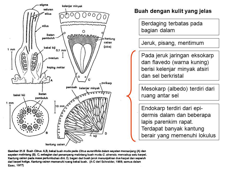 BUAH BERDAGING (a) Buni / Baka, perikarp tebal dan berair dan dibedakan tiga lapisan: eksokarp (mengandung zat warna putih), mesokarp (cukup tebal), dan endokarp (berupa selaput).