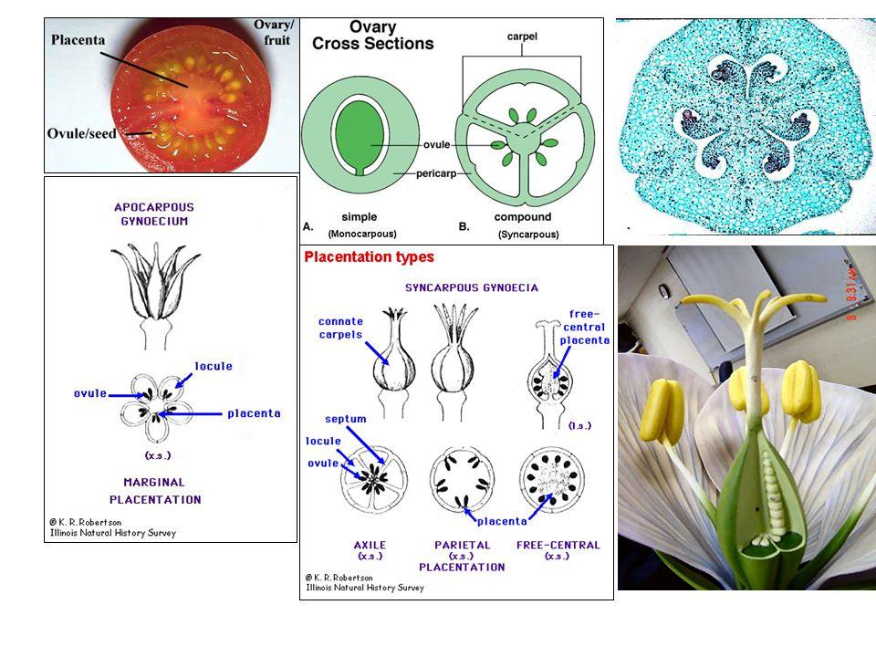 BUAH KERING (A) Buah yang berkembang dari daun buah tunggal (i) Folikel (buah bumbung), seperti polong dan membuka di sisi ventral (Delphinium, Brachychiton) (ii) Legum (buah polong), membuka menjadi dua katup melalui alur ventral dan dorsal (Leguminosae) (B) Buah sinkarpus, berkembang dari bakal buah dengan 2 karpel / lebih (i) Silikua (lobak/polong palsu), seperti polong, dua karpel membentuk rusuk tebal, dan mempunyai sekat semu (Cruciferae) (ii) Kapsula (buah kotak), dari dua karpel / lebih dan merekah dalam berbagai cara dan mempunyai arti penting dalam taksonomi lokusidal septisidal septifragal berpori Membuka dari ujung distal (Iris, Epilobium) Membuka diantara karpel (Hypericum) Sekat tetap menempel pada sumbu sirkumsisi Melalui pori kecil (Papaver, Campunala) Belahan melintang dan membentuk kelopak (Anagalis, Hyascyamus) berkatup Dengan bantuan geligi