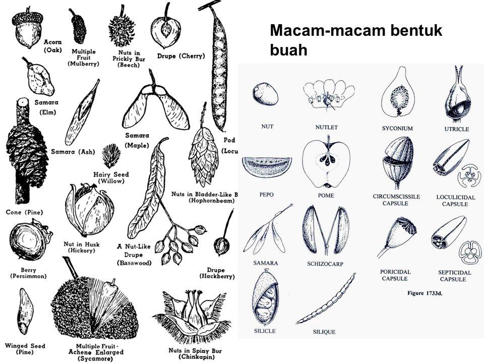 Macam-macam bentuk buah