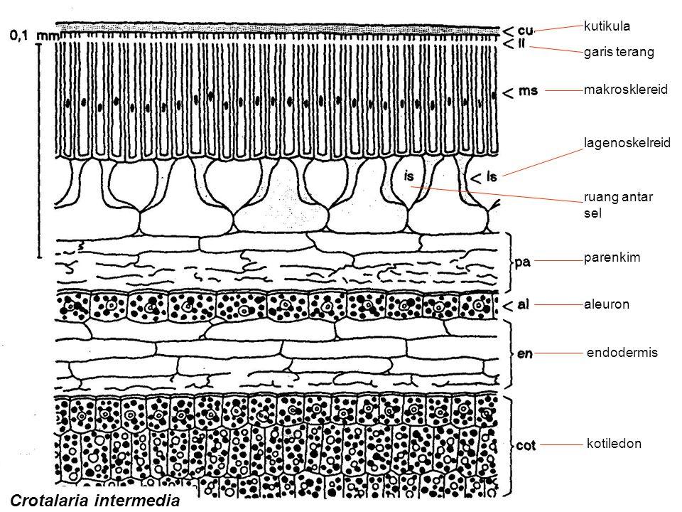 Crotalaria intermedia kutikula garis terang makrosklereid lagenoskelreid ruang antar sel parenkim aleuron endodermis kotiledon